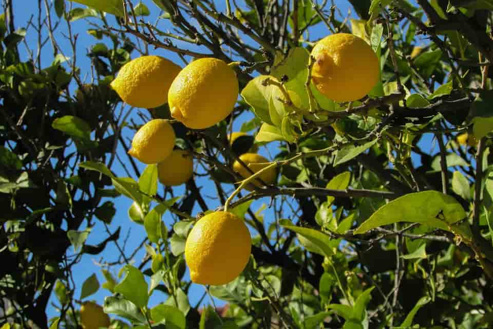 citromfa vásárlás